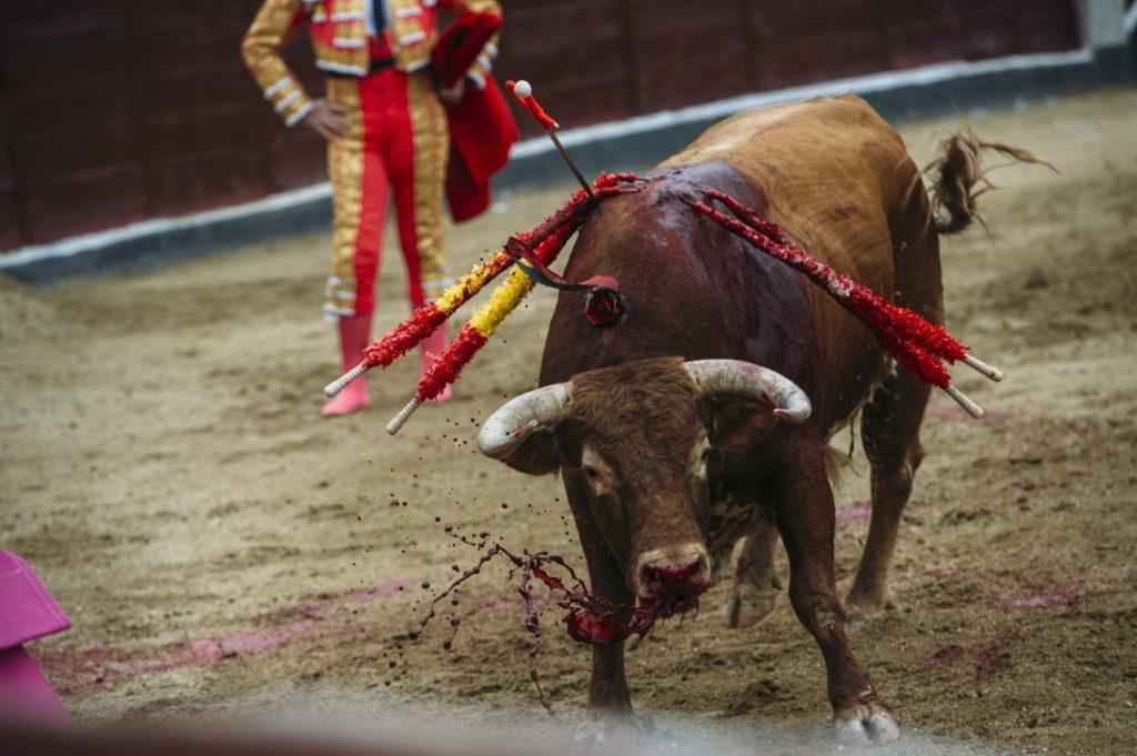 un taureau et du sang