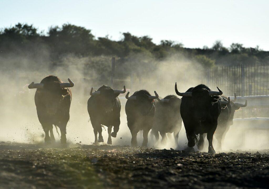 un troupeau de taureaux